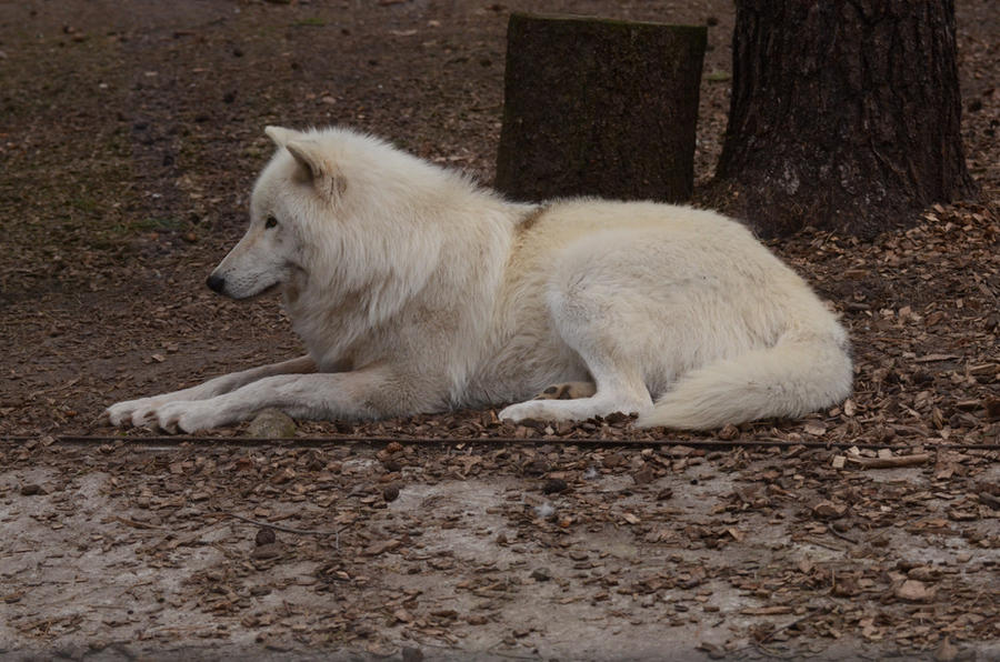 Arctic Wolf 16 by Lakela