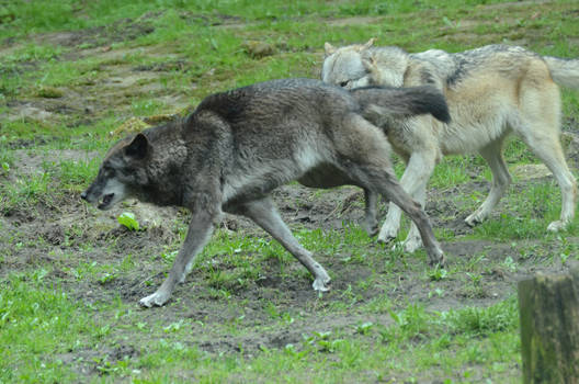 New Black Wolves 11