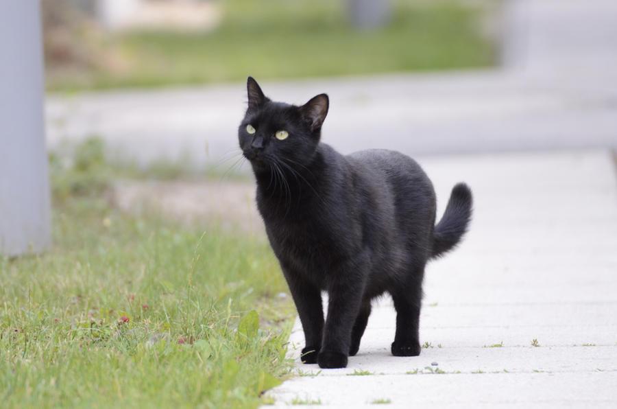 Black Cat 13 by Lakela