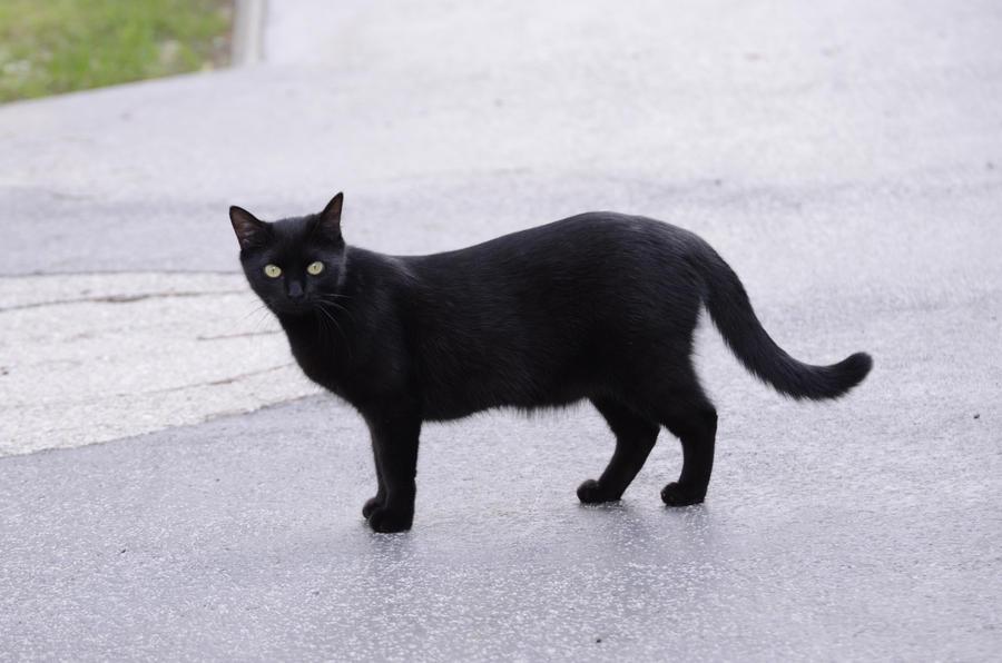 Black cat 15 by Lakela