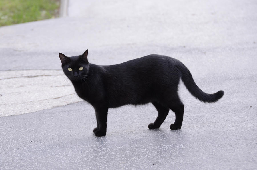 Black cat 15