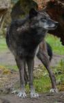 New Black Wolves 13