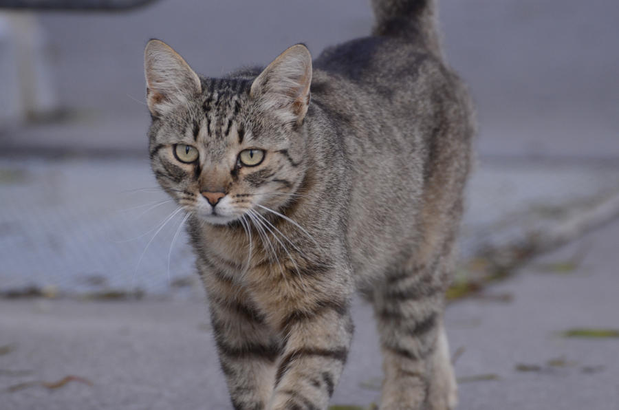 Could this species of wildcat pass as a domesticated tabby ...