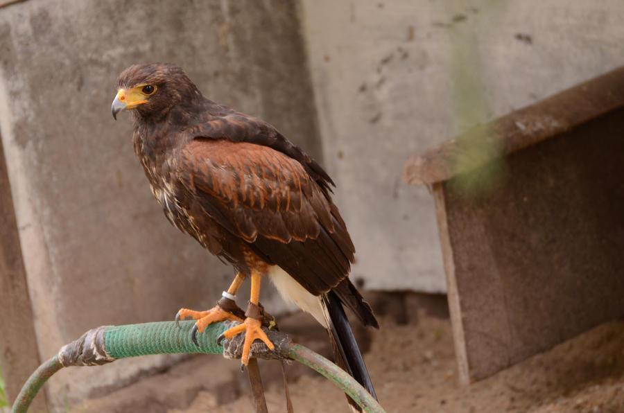 Hawk 5 by Lakela