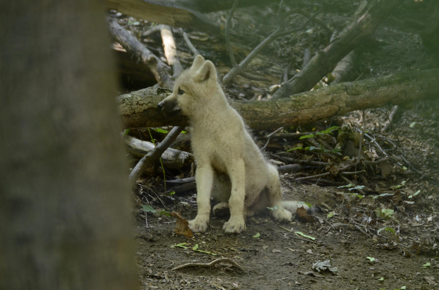 Wolf Pup 1 by Lakela