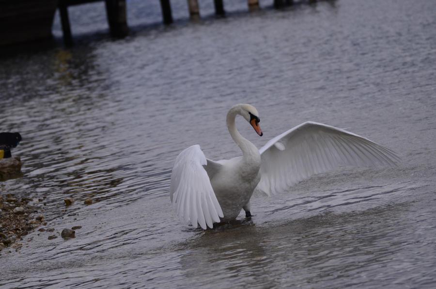 Swan Wings 1 by Lakela
