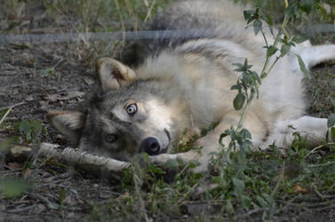WSC Young Wolf 13 by Lakela