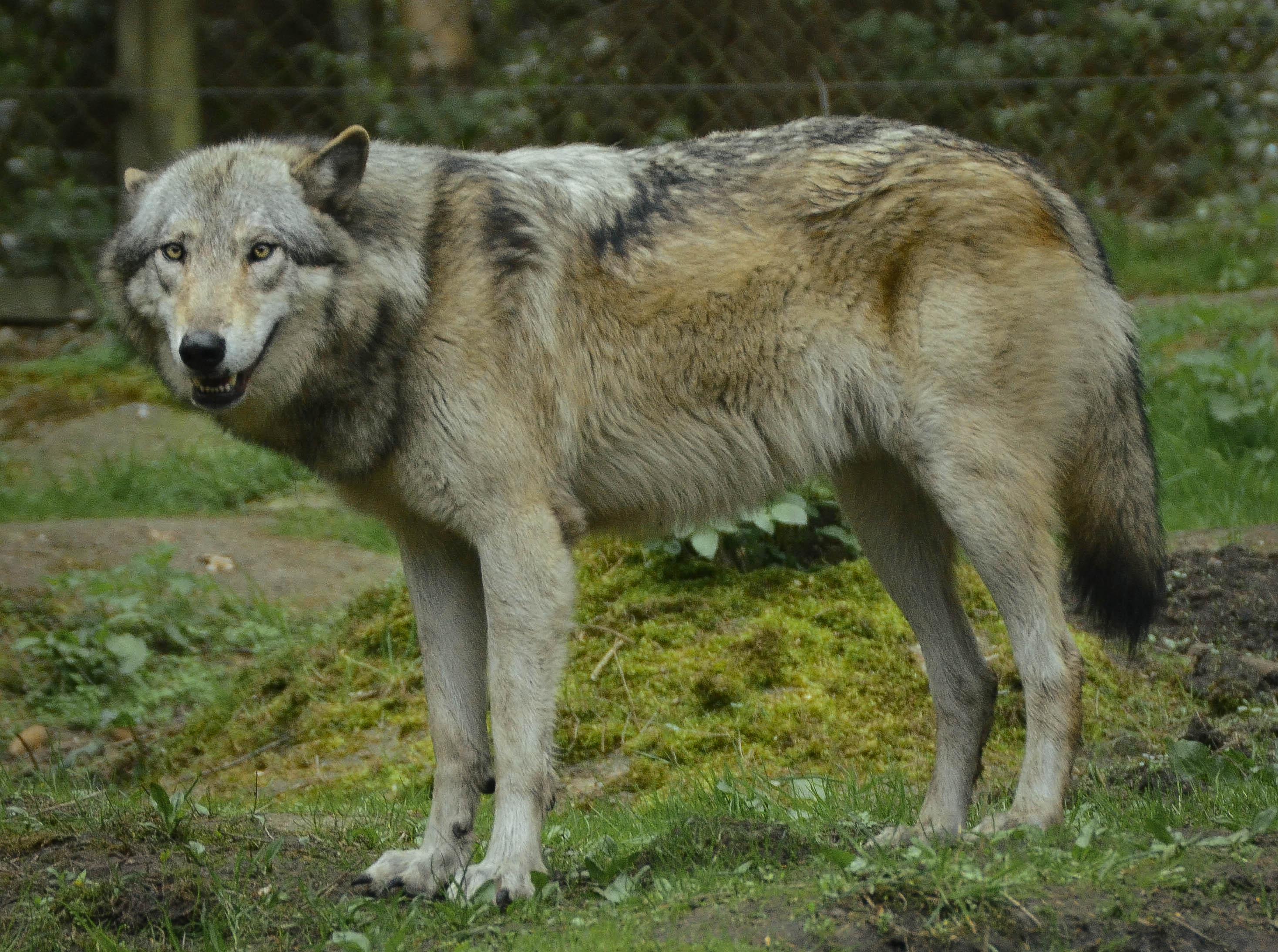 Husky Timber Wolf Puppies Wolf