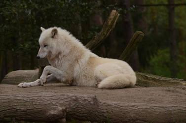 Arctic Wolf 20 by Lakela