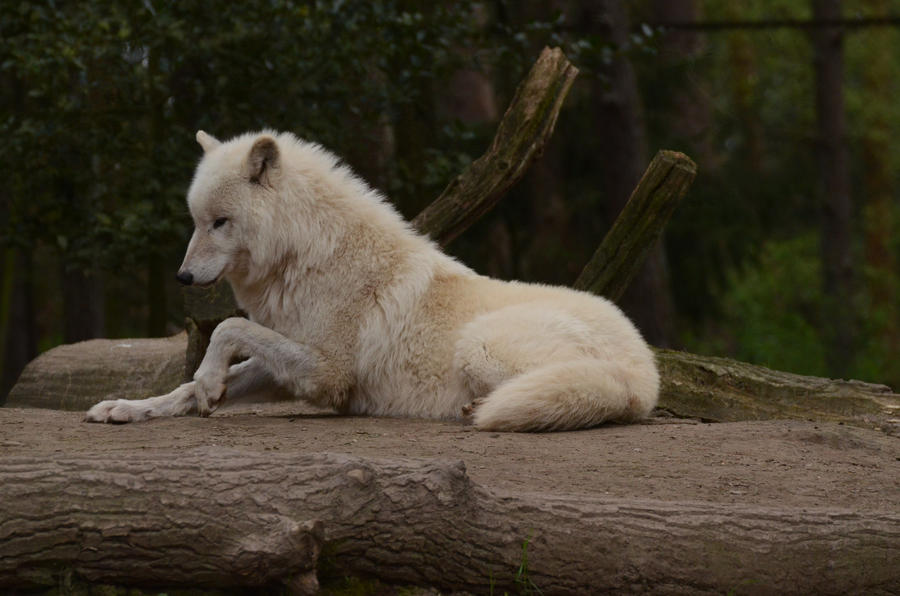 Arctic Wolf 20 by Lakela