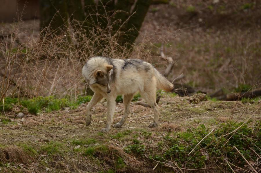WSC Wolf 1 by Lakela