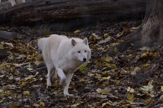 New White Wolves 2