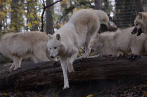 New White Wolves 3 by Lakela