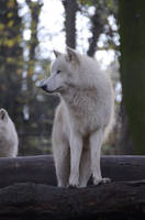 New White Wolves 15 by Lakela