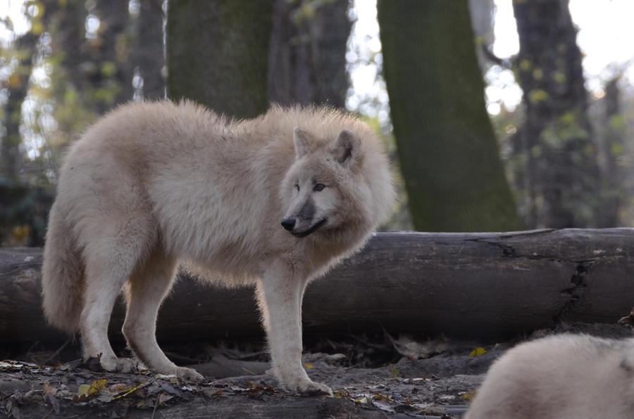 New White Wolves 17 by Lakela