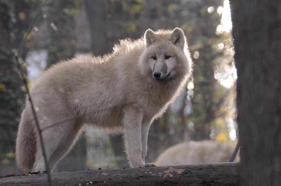 New White Wolves 24 by Lakela