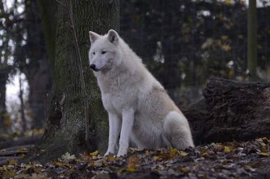 New White Wolves 25 by Lakela