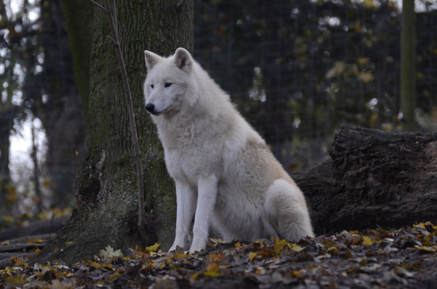 New White Wolves 25 by Lakela