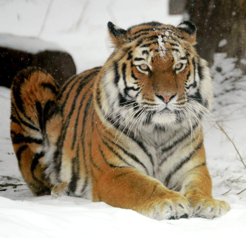 Tiger 25 by Lakela