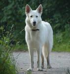 White Shepherd 4 by Lakela