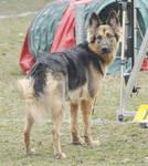 German Shepherd 1