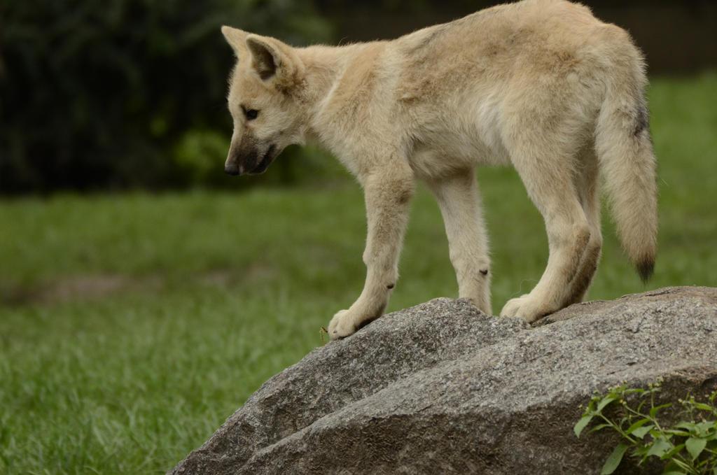 Wolf puppy 6 by Lakela
