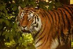 Tiger 26