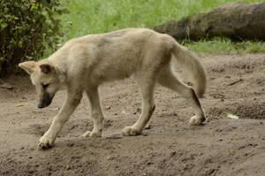 Wolf puppy 7 by Lakela