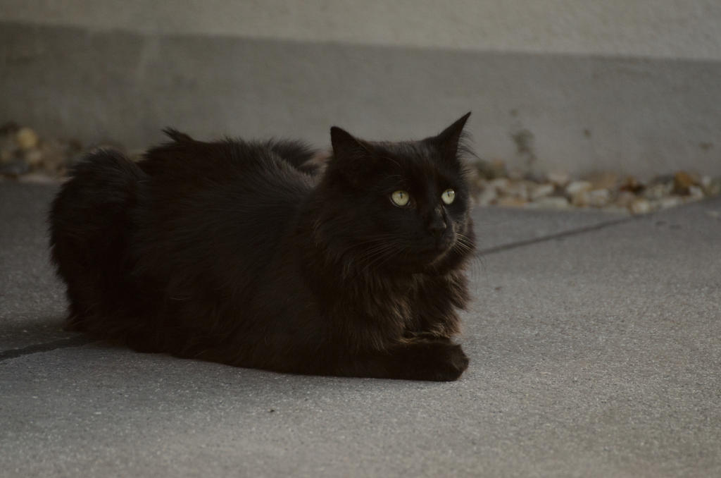 Black cat 16 by Lakela