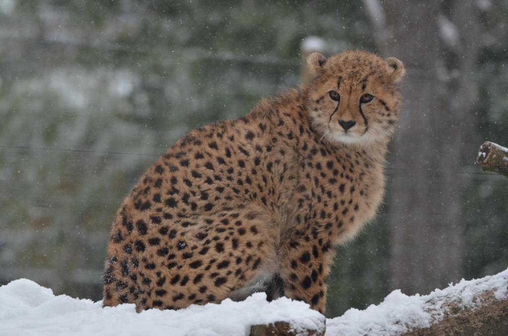 Cheetah 8 by Lakela