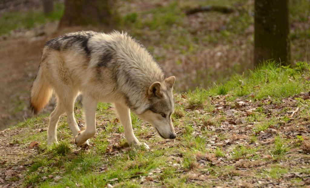 WSC Wolf 3 by Lakela