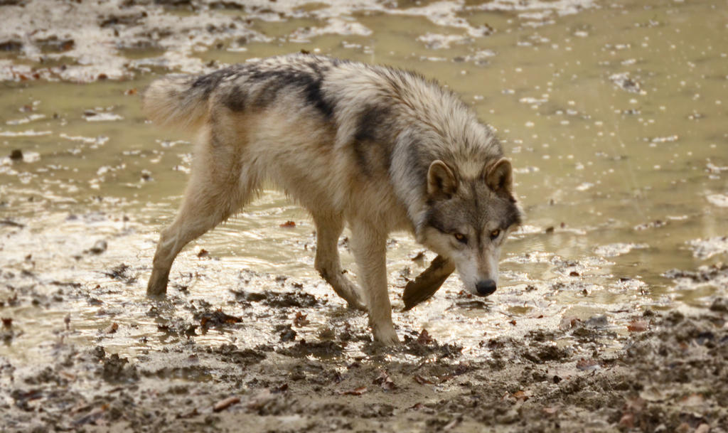 WSC Wolf 4 by Lakela