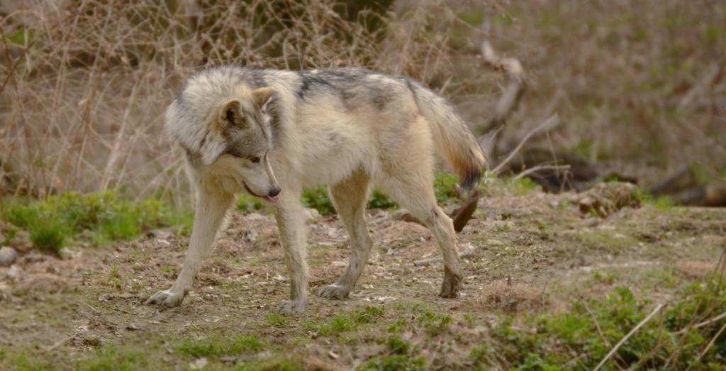 WSC Wolf 5 by Lakela