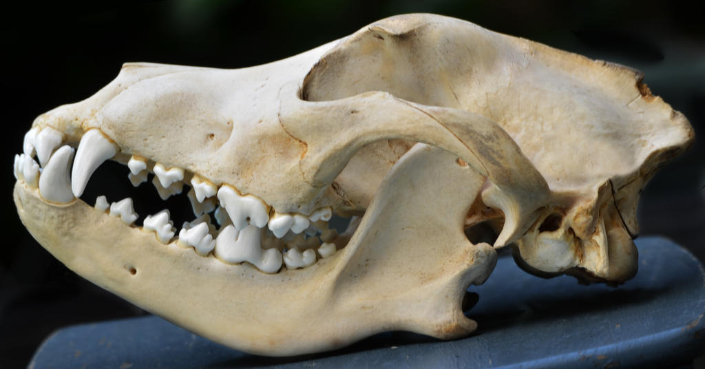 Canine skull 1 by Lakela