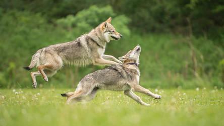Czech Wolfdog 1