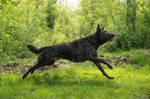 Dutch Shepherd Dog 3