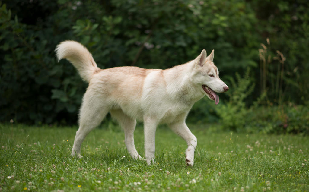 Siberian Husky 3 by Lakela