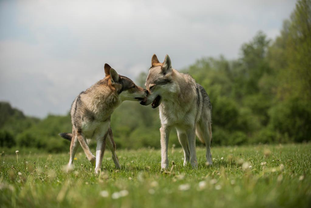 Czech Wolfdog 3 by Lakela