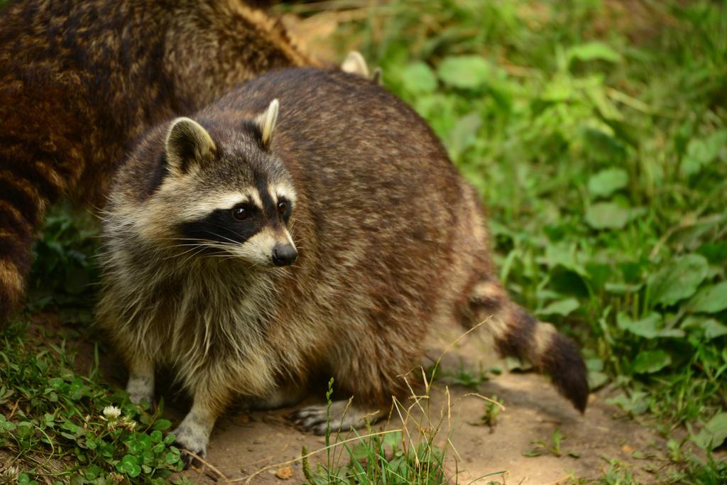 Raccoon 5 by Lakela