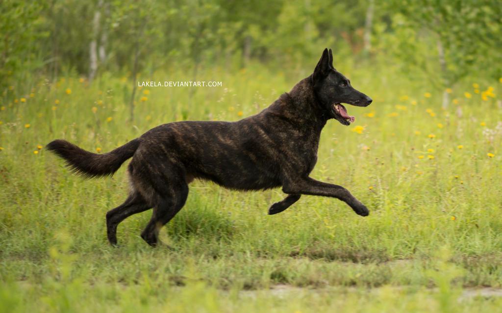 Dutch Shepherd Dog 4 by Lakela