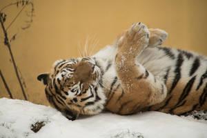 Tiger 33