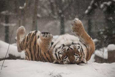 Tiger 35 by Lakela