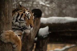 Tiger 37 by Lakela
