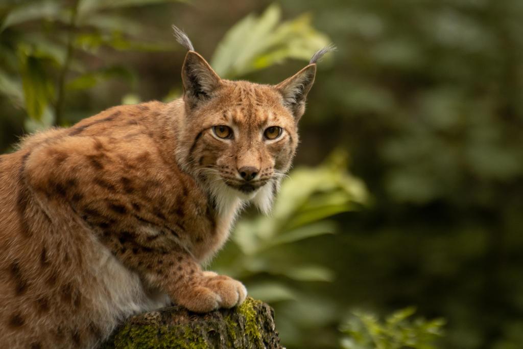 Lynx 8 by Lakela