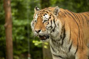 Tiger 39 by Lakela
