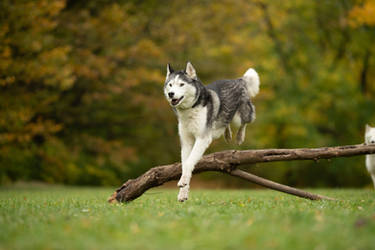 Jumping Husky 1 by Lakela