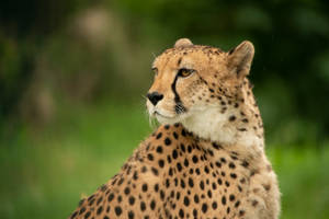Cheetah 13 by Lakela