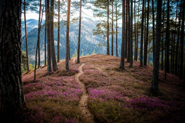 A path through heather by Lakela