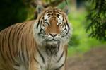 Tiger 40