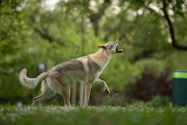 Wolfdog vs Bubbles 3
